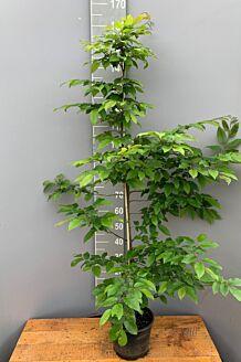 Hainbuche (150-175 cm) Pot