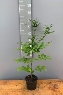 Hainbuche Topf 40-60 cm Topf