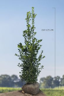 Stechplame Ilex 'Heckenfee' Wurzelballen 150-175 cm Clod