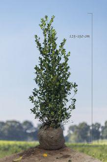 Stechplame Ilex 'Heckenfee' Wurzelballen 125-150 cm Clod