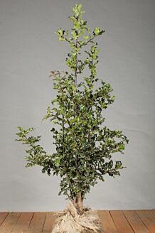 Stechpalme Ilex 'Alaska' Wurzelballen 100-125 cm Clod