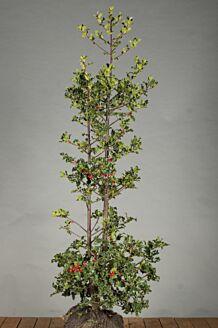Stechpalme Ilex 'Alaska' Wurzelballen 125-150 cm Clod