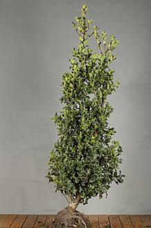 Stechpalme Ilex 'Alaska' Wurzelballen 150-175 cm Clod
