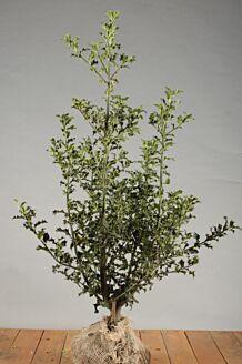 Stechpalme Ilex 'Alaska' Wurzelballen 80-100 cm Clod