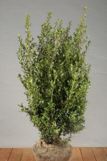 Japanische Stechpalme Wurzelballen 80-100 cm Wurzelballen