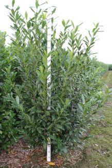 Kirschlorbeer 'Caucasica' Wurzelballen 225-250 cm Extra Qualtität Wurzelballen