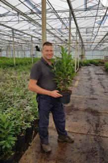 Kirschlorbeer 'Genolia' (60-80 cm) Pot