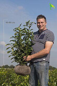 Kirschlorbeer 'Genolia' (60-80 cm) Clod
