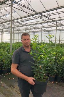 Kirschlorbeer 'Herbergii' Topf 80-100 cm Pot