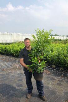 Kirschlorbeer 'Herbergii' Topf 100-125 cm Pot