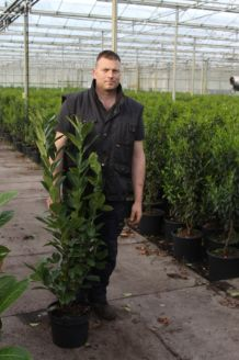 Kirschlorbeer 'Novita' Topf 80-100 cm Pot