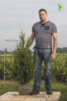 Lebensbaum 'Atrovirens' (100-125 cm) Clod