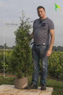 Lebensbaum 'Atrovirens' (125-150 cm) Extra Qualtität Clod