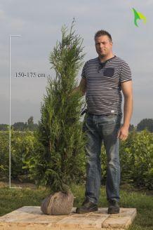 Lebensbaum 'Atrovirens' (150-175 cm) Extra Qualtität Clod