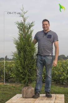 Lebensbaum 'Atrovirens' (175-200 cm) Extra Qualtität Clod