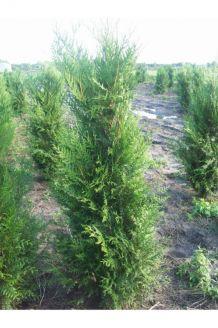 Lebensbaum 'Atrovirens' (200-225 cm) Extra Qualtität Clod