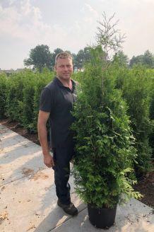 Lebensbaum 'Brabant' (150-175 cm) Extra Qualtität Pot
