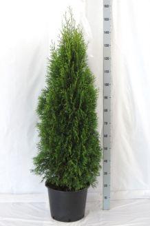 Lebensbaum 'Smaragd' Topf 125-150 cm Pot