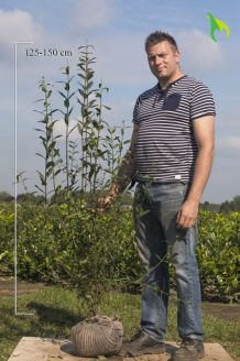 Wintergrüner Liguster Atrovirens Wurzelballen 125-150 cm Wurzelballen