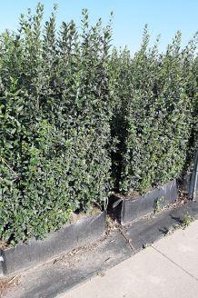 Wintergrüner Liguster Atrovirens Fertig-Hecken 150+ cm Fertighecke
