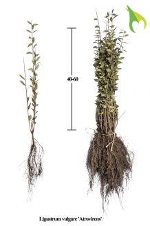 Wintergrüner Liguster 'Atrovirens' (40-60 cm) Bare root