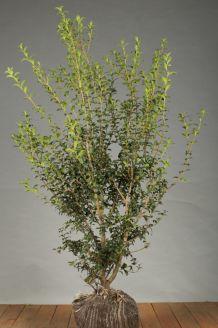 Duftblute (125-150 cm) Clod