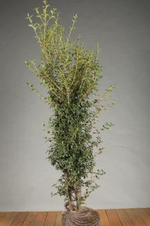 Duftblute (150-175 cm) Clod