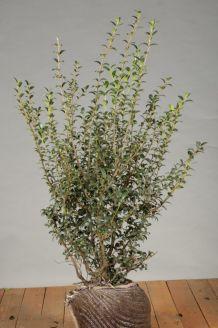 Duftblute (80-100 cm) Clod