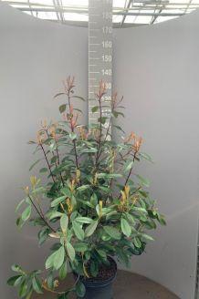 Glanzmispel Topf 100-125 cm Pot