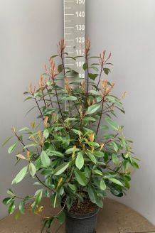 Glanzmispel (80-100 cm) Pot