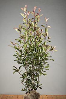 Glanzmispel (100-125 cm) Clod