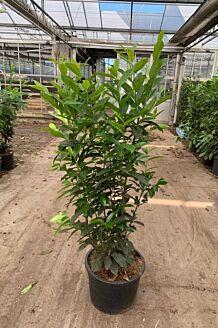 Kirschlorbeer 'Genolia' (125-150 cm) Extra Qualtität Pot