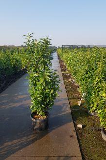 Kirschlorbeer 'Genolia' (150-175 cm) Extra Qualtität Pot