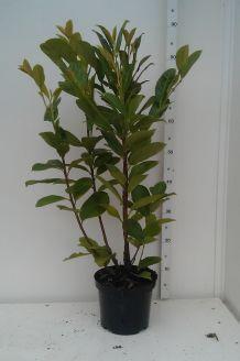 Kirschlorbeer 'Novita' Topf 60-80 cm Pot