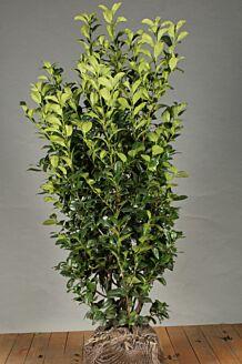 Kirschlorbeer 'Ani' Wurzelballen 125-150 cm Extra Qualtität Clod