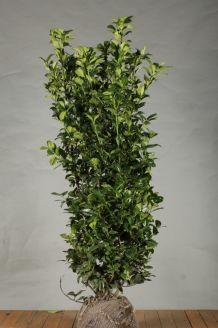 Kirschlorbeer 'Ani' Wurzelballen 150 -175 cm Extra Qualtität Clod