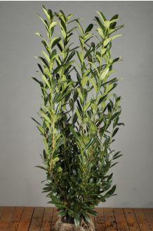 Kirschlorbeer 'Caucasica' Wurzelballen 150-175 cm Wurzelballen