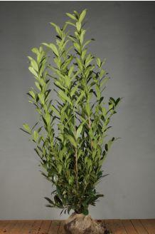 Kirschlorbeer 'Caucasica' Wurzelballen 175-200 cm Wurzelballen