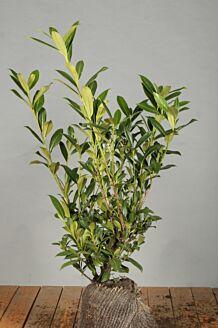 Kirschlorbeer 'Caucasica' Wurzelballen 60-80 cm Clod