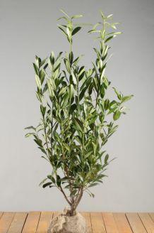 Kirschlorbeer 'Caucasica' Wurzelballen 80-100 cm Wurzelballen