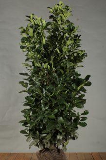 Kirschlorbeer 'Etna' Wurzelballen 150 -175 cm Extra Qualtität Wurzelballen