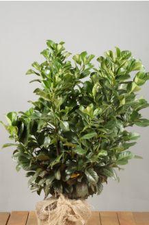 Kirschlorbeer 'Etna' Wurzelballen 60-80 cm Clod