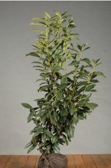 Kirschlorbeer 'Genolia' (100-125 cm) Clod