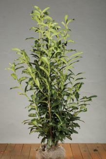 Kirschlorbeer 'Genolia' (125-150 cm) Extra Qualtität Clod