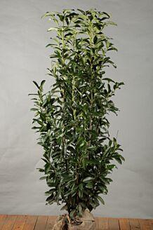 Kirschlorbeer 'Genolia' (175-200 cm) Extra Qualtität Clod