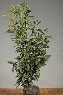 Kirschlorbeer 'Genolia' (80-100 cm) Clod