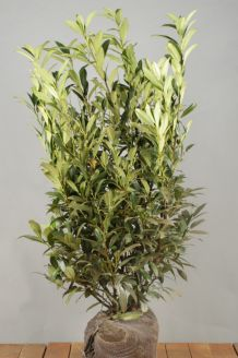 Kirschlorbeer 'Herbergii' Wurzelballen 100-125 cm Extra Qualtität Clod