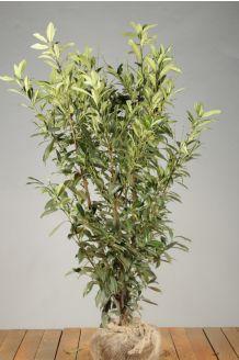 Kirschlorbeer 'Herbergii' Wurzelballen 125-150 cm Extra Qualtität Clod