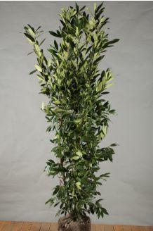 Kirschlorbeer 'Herbergii' Wurzelballen 150-175 cm Clod