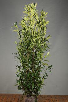 Kirschlorbeer 'Herbergii' Wurzelballen 175-200 cm Clod